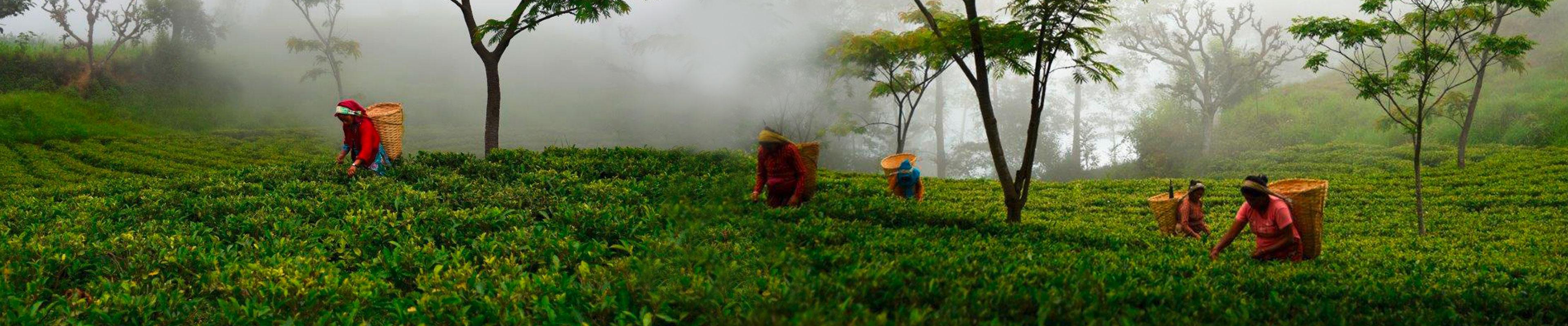 Ceylon, Assam, China
