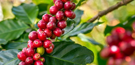Wissenswertes: Arabica-Kaffee und seine Besonderheiten
