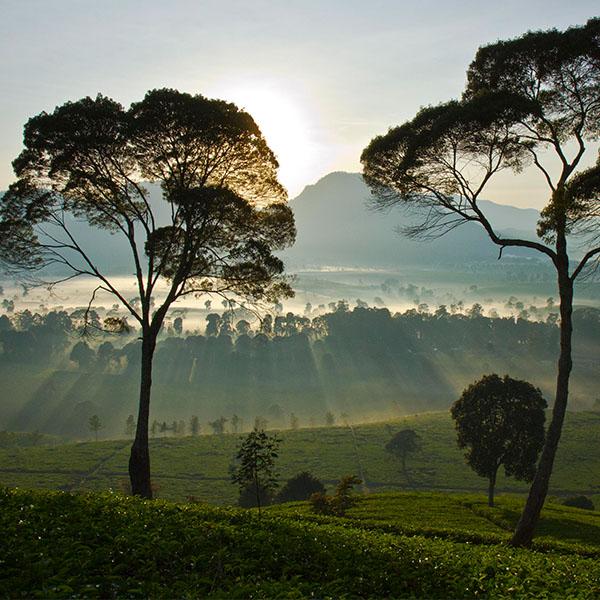 Teelandschaft mit Bäumen in Sri Lanka